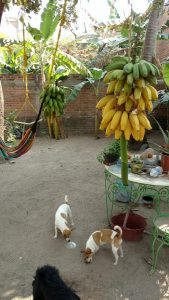 Bananas getting ripe in our back yard.